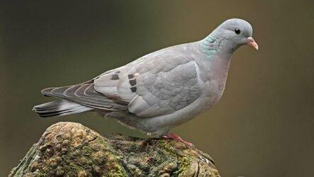 Клинтух птица. Описание, особенности, виды, образ жизни и среда обитания клинтуха
