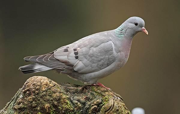 Клинтух-птица-Описание-особенности-виды-образ-жизни-и-среда-обитания-клинтуха-8