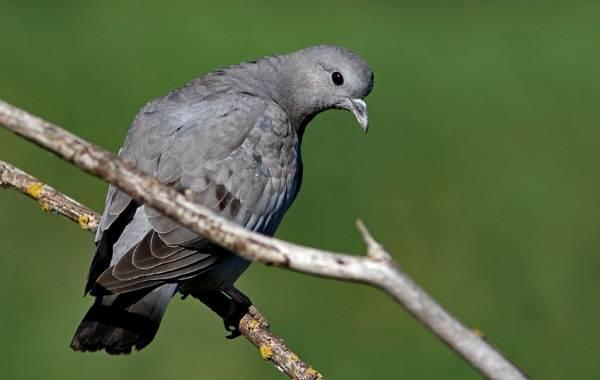 Клинтух-птица-Описание-особенности-виды-образ-жизни-и-среда-обитания-клинтуха-9