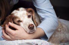Лептоспироз у собак. Описание, особенности, симптомы и лечение лептоспироза