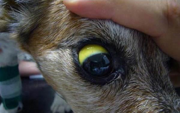 Лептоспироз-у-собак-Описание-особенности-симптомы-и-лечение-лептоспироза-2