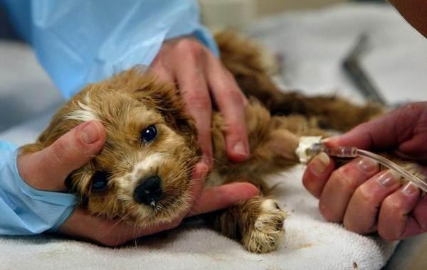 Лептоспироз-у-собак-Описание-особенности-симптомы-и-лечение-лептоспироза-5