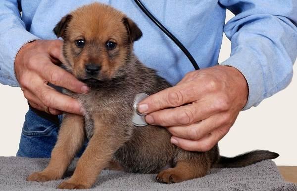 Лептоспироз-у-собак-Описание-особенности-симптомы-и-лечение-лептоспироза-9