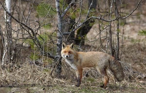 Животные-Франции-Описание-названия-виды-и-фото-животных-Франции-10