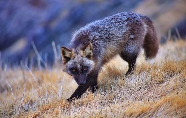 Животные-Франции-Описание-названия-виды-и-фото-животных-Франции-11