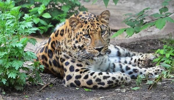 Животные-Приморского-края-Описание-названия-виды-и-фото-животных-Приморского-края-2
