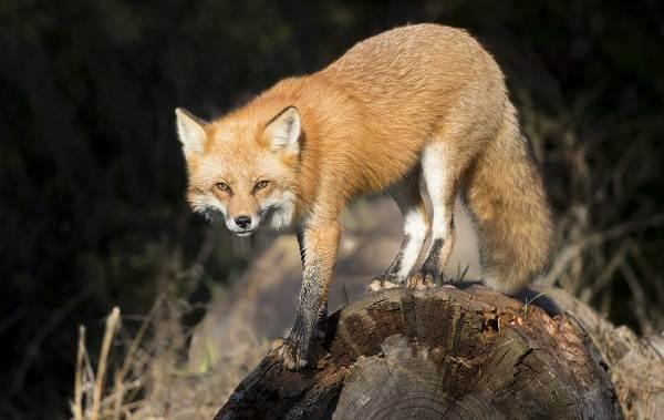Животные-Турции-Описание-названия-виды-и-фото-животных-Турции-5