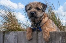 Бордер терьер собака. Описание, особенности, виды, уход и цена породы бордер терьер
