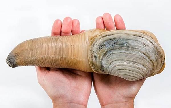 Гуидак-моллюск-Описание-особенности-виды-образ-жизни-и-среда-обитания-гуидака-2