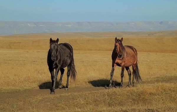 Карачаевская-лошадь-Описание-особенности-виды-уход-и-цена-карачаевской-лошади-5