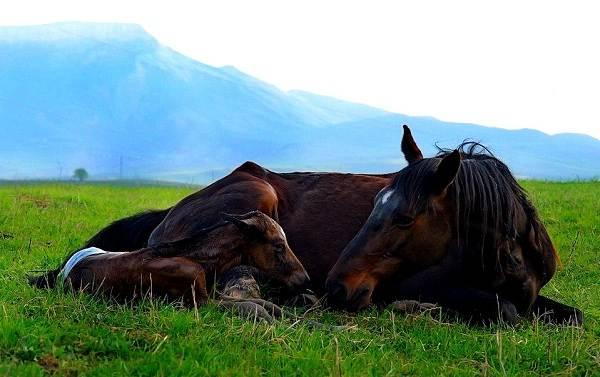 Карачаевская-лошадь-Описание-особенности-виды-уход-и-цена-карачаевской-лошади-6
