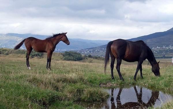 Карачаевская-лошадь-Описание-особенности-виды-уход-и-цена-карачаевской-лошади-7