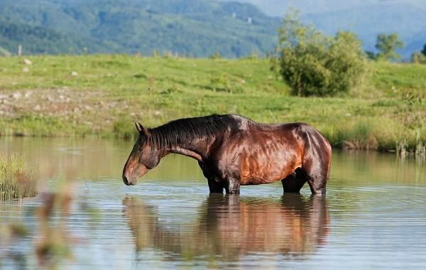 Карачаевская-лошадь-Описание-особенности-виды-уход-и-цена-карачаевской-лошади-9