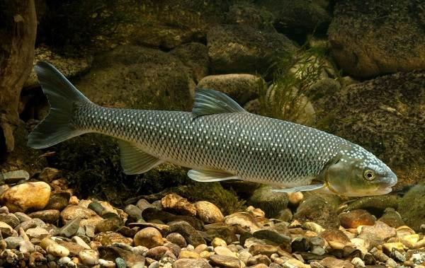 Кутум-рыба-Описание-особенности-виды-образ-жизни-и-среда-обитания-кутума-1