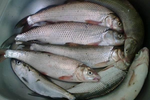 Кутум-рыба-Описание-особенности-виды-образ-жизни-и-среда-обитания-кутума-3