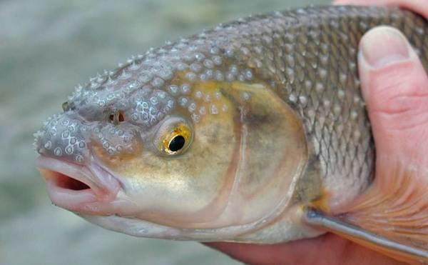 Кутум-рыба-Описание-особенности-виды-образ-жизни-и-среда-обитания-кутума-5
