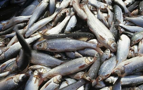 Кутум-рыба-Описание-особенности-виды-образ-жизни-и-среда-обитания-кутума-6