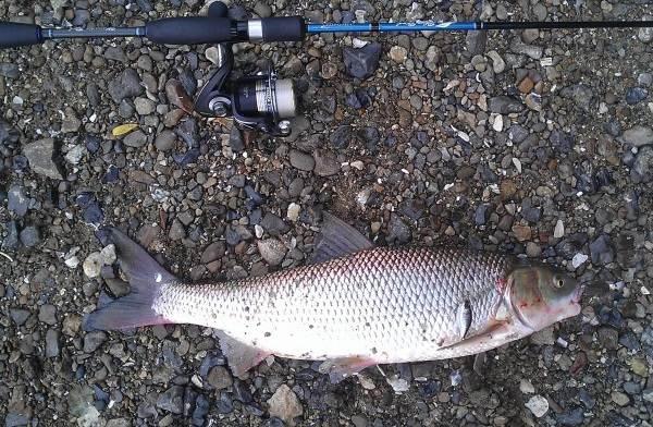 Кутум-рыба-Описание-особенности-виды-образ-жизни-и-среда-обитания-кутума-7
