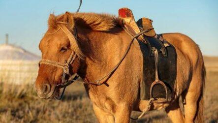 Монгольская лошадь. Описание, особенности, уход и цена монгольской лошади