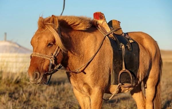 Монгольская-лошадь-Описание-особенности-уход-и-цена-монгольской-лошади-1
