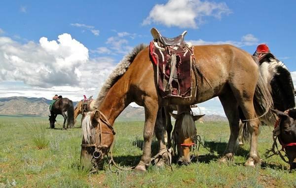 Монгольская-лошадь-Описание-особенности-уход-и-цена-монгольской-лошади-10