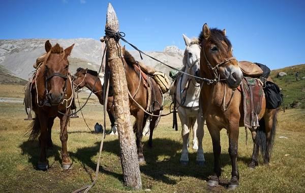 Монгольская-лошадь-Описание-особенности-уход-и-цена-монгольской-лошади-11