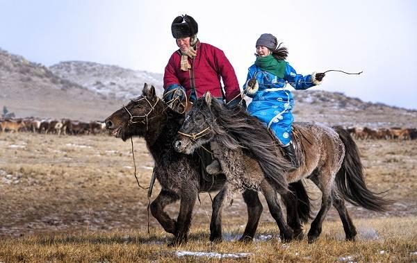 Монгольская-лошадь-Описание-особенности-уход-и-цена-монгольской-лошади-2