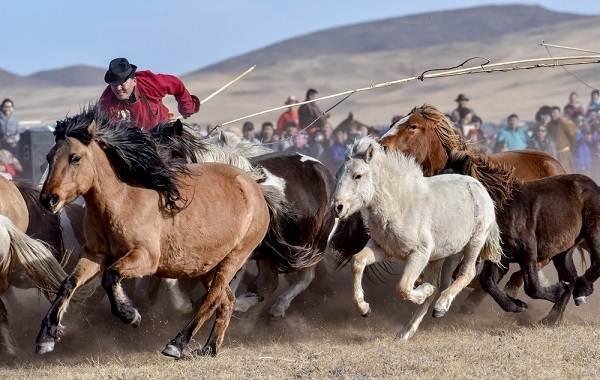 Монгольская-лошадь-Описание-особенности-уход-и-цена-монгольской-лошади-3