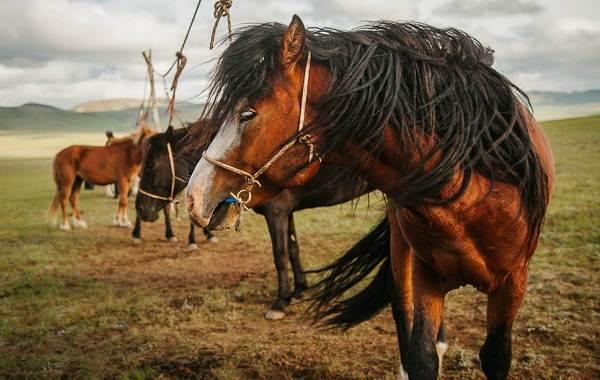 Монгольская-лошадь-Описание-особенности-уход-и-цена-монгольской-лошади-4