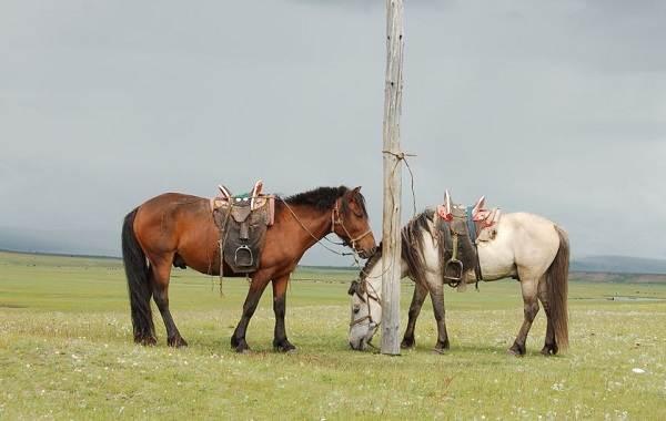 Монгольская-лошадь-Описание-особенности-уход-и-цена-монгольской-лошади-5