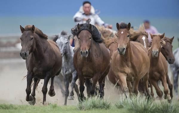 Монгольская-лошадь-Описание-особенности-уход-и-цена-монгольской-лошади-7