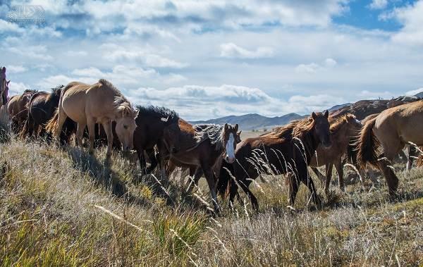 Монгольская-лошадь-Описание-особенности-уход-и-цена-монгольской-лошади-9