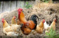 Породы кур для домашнего разведения