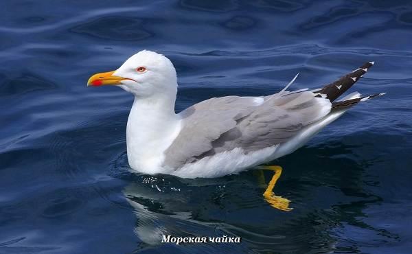 Виды-чаек-Описание-названия-и-фото-видов-чаек-12