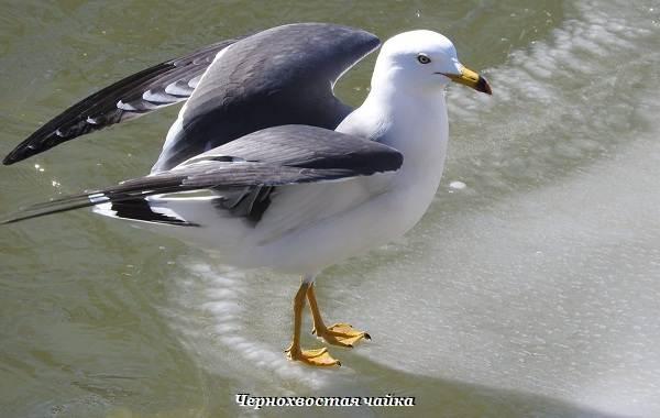 Виды-чаек-Описание-названия-и-фото-видов-чаек-20
