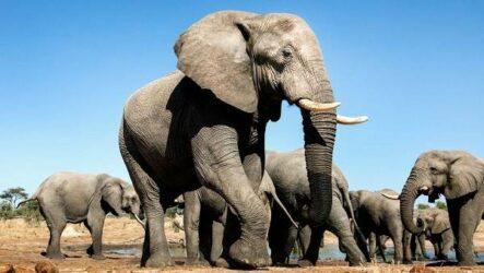 Виды слонов. Описание, названия и фото видов слонов