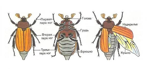 Виды-жуков-Классификация-особенности-строения-и-поведения-название-и-фото-видов-жуков-2