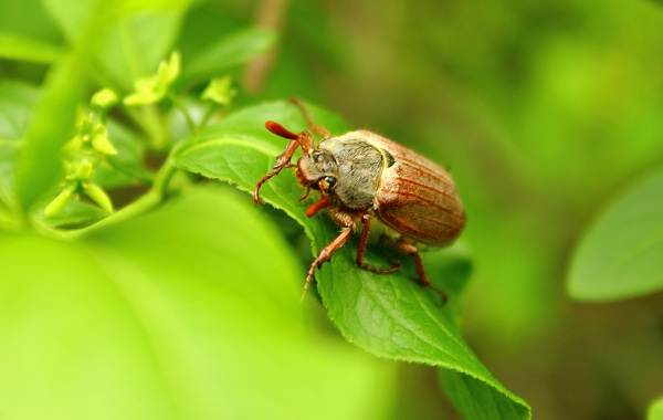 Виды-жуков-Классификация-особенности-строения-и-поведения-название-и-фото-видов-жуков-20