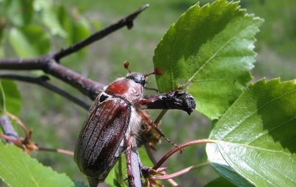 Виды-жуков-Классификация-особенности-строения-и-поведения-название-и-фото-видов-жуков-21