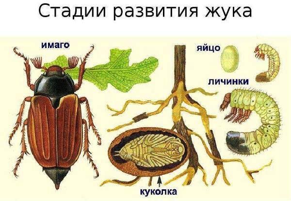 Виды-жуков-Классификация-особенности-строения-и-поведения-название-и-фото-видов-жуков-3