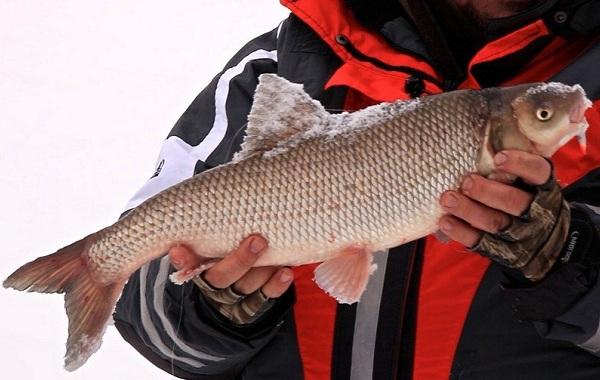 Вырезуб-рыба-Описание-особенности-виды-образ-жизни-и-среда-обитания-вырезуба-10