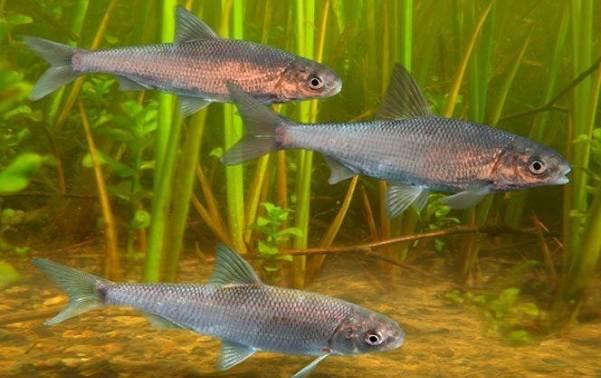 Вырезуб рыба. Описание, особенности, виды, образ жизни и среда обитания вырезуба2