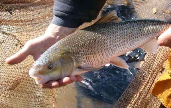 Вырезуб-рыба-Описание-особенности-виды-образ-жизни-и-среда-обитания-вырезуба-6