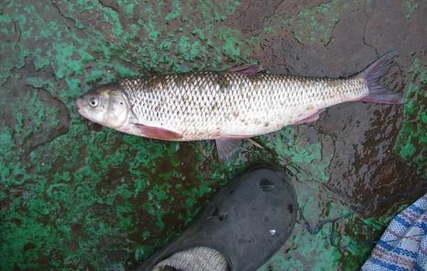 Вырезуб-рыба-Описание-особенности-виды-образ-жизни-и-среда-обитания-вырезуба-9