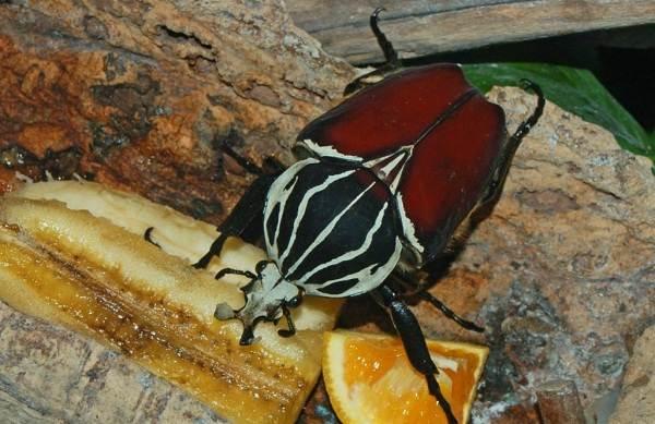 Жук-голиаф-насекомое-Описание-особенности-виды-образ-жизни-и-среда-обитания-голиафа-13