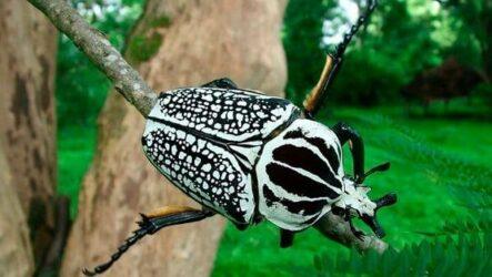 Жук голиаф насекомое. Описание, особенности, виды, образ жизни и среда обитания голиафа