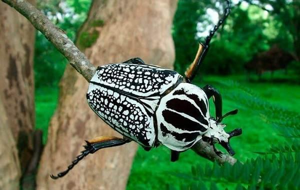 Жук-голиаф-насекомое-Описание-особенности-виды-образ-жизни-и-среда-обитания-голиафа-14