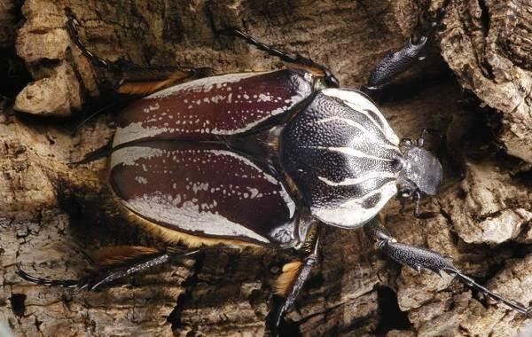 Жук-голиаф-насекомое-Описание-особенности-виды-образ-жизни-и-среда-обитания-голиафа-1415
