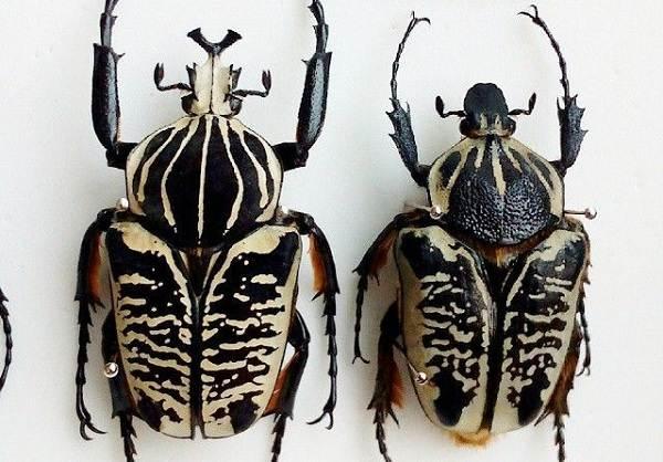 Жук-голиаф-насекомое-Описание-особенности-виды-образ-жизни-и-среда-обитания-голиафа-2