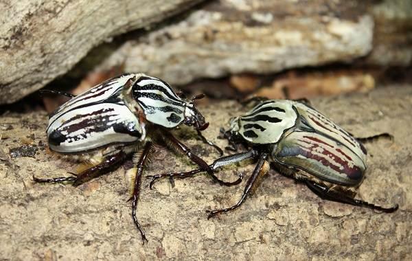 Жук-голиаф-насекомое-Описание-особенности-виды-образ-жизни-и-среда-обитания-голиафа-5